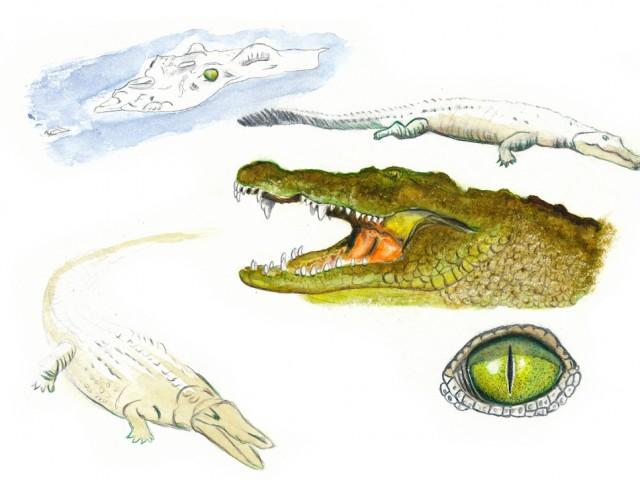 Planche d'étude : crocodile du nil